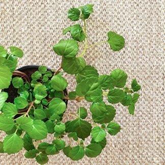 Plectranthus Australis, Swedish Ivy, Swedish Begonia
