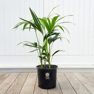 Kentia Palm 25cm pot size, 3 or 4 plants per pot
