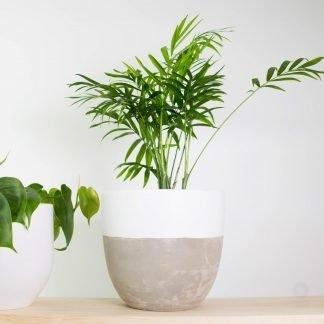 Parlour Palm, also known as Chamaedorea Elegans
