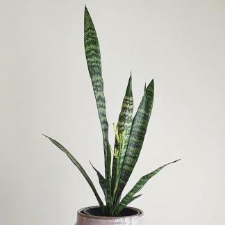 Tall Green Snake Plant, also known as Sansevieria Trifasciata Green