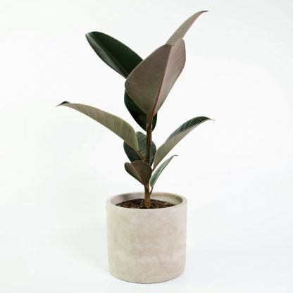 Ficus Burgundy also known as Rubber Tree 'Black Knight' or 'Black Prince'