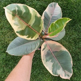 Ficus Ruby or the Ruby Rubber Tree
