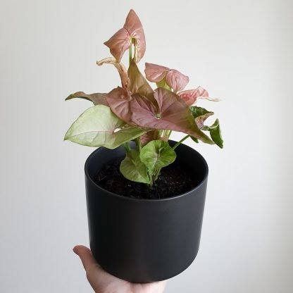 Syngonium plant with pink and green leaves
