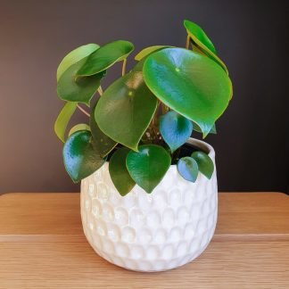 The Raindrop Peperomia in a white textured pot. This plant is also known as Peperomia Polyboytra