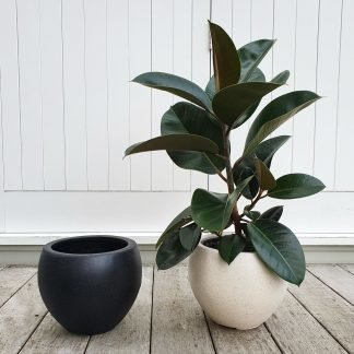 Rubber Tree (Ficus Robusta) in the choice of a Black or White Pot