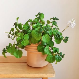 Swedish Ivy also known as Plectranthus Australis in a tall ceramic pot